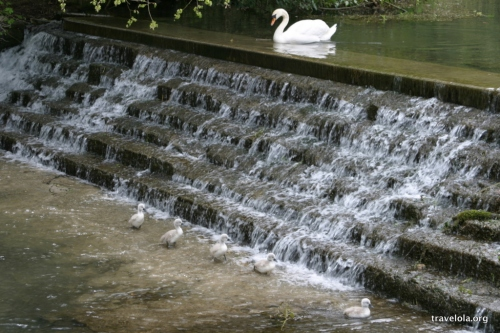 "Swan and cygnets in Bibury, ""the most beautiful village in England"" according to William Morris"