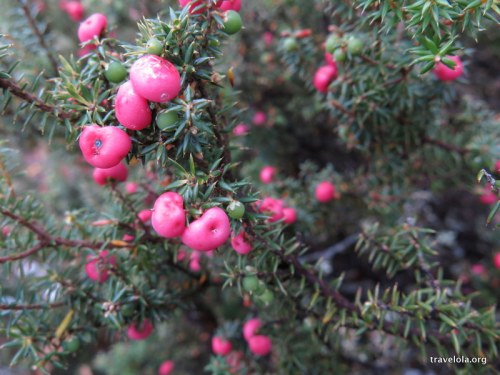 Tasmanian mountain pinkberry speciality - Leptecophylla juniperina subsp. parvifolia