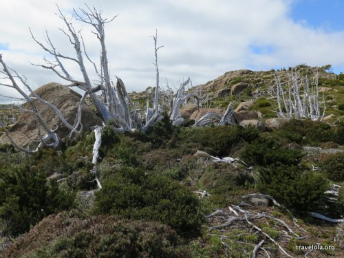 Leafless snow gums at Mt Field National Park
