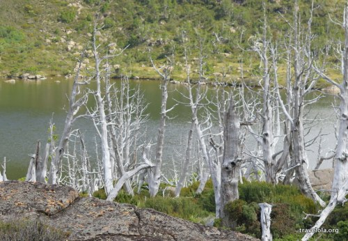 Spindly leafless ghost gum trees on the Tarn Shelf Circuit walk, Tasmania