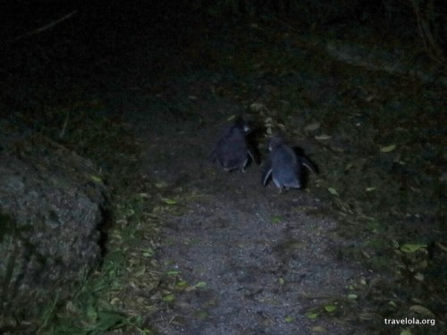 Two fairy penguins heading back from a day at sea to return to their young in Bicheno, Tasmania, Australia.