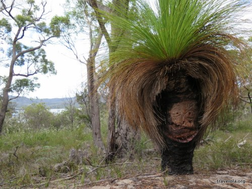 Grass tree in Freycinet National Park